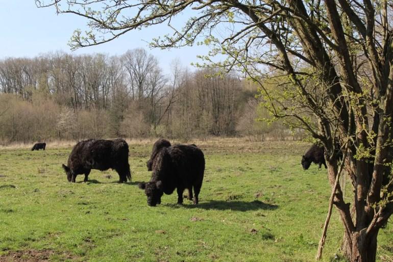 Im Naturschutzgebiet Höltigbaum kannst du Gallowey-Rinder beobachten