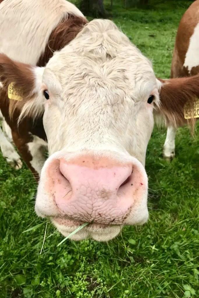 Diese Kuh möchte Grüß Gott sagen