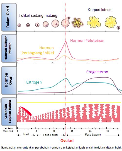 Perubahan hormon dan ketebalan dinding rahim semasa kitaran haid