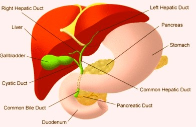 Human liver location body diagram periodic diagrams science where is the liver located in human body diagram ccuart Choice Image