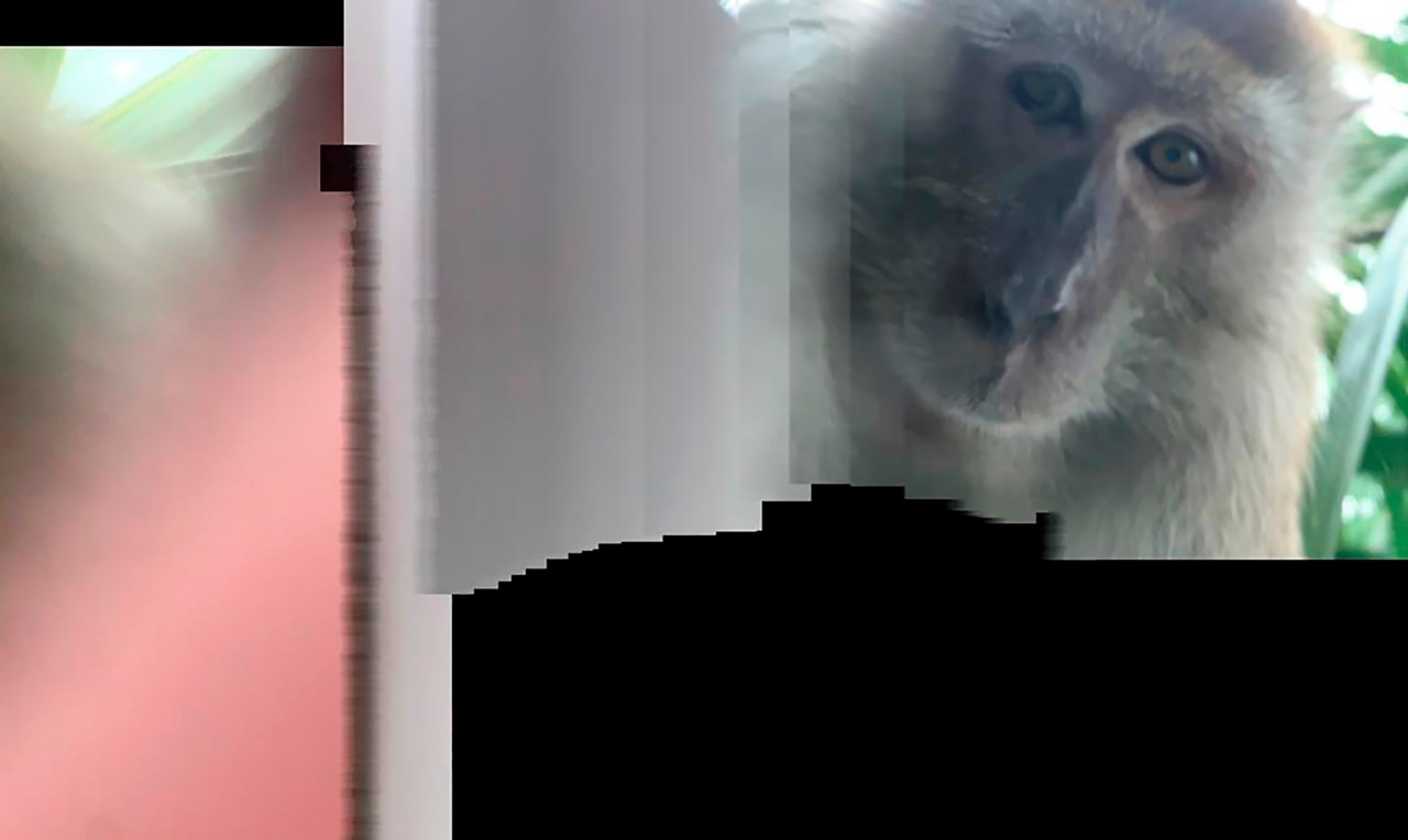 Just Monkeying Around Primate Takes Phone Then Selfies