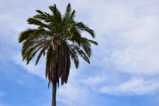 St. Petersburg Florida - Palm Tree