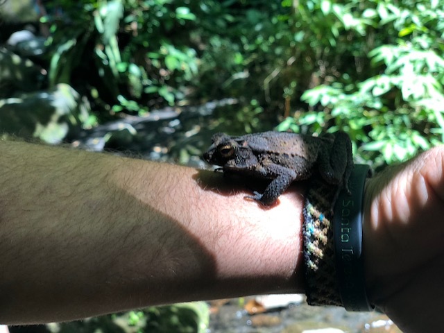 Toad on hike in Arenal