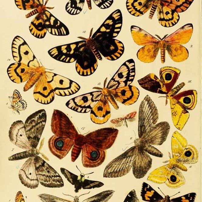 victoriaanse-vlinders