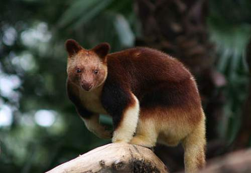 10 Interesting Tree Kangaroo Facts  My Interesting Facts