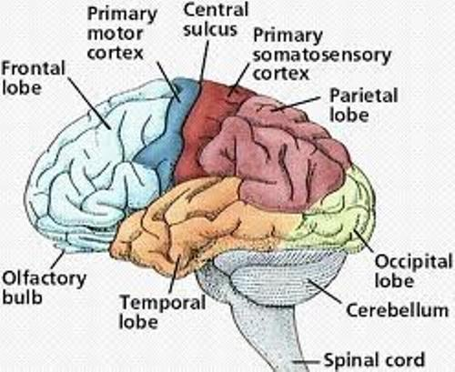 ear diagram labeled function 7 pin trailer flat plug wiring australia 10 interesting nervous system facts | my