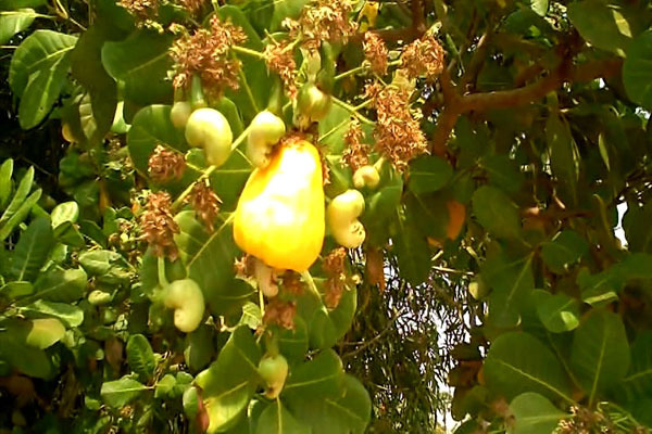 Cashew Watch Ghana to champion growth and development of cashew industry