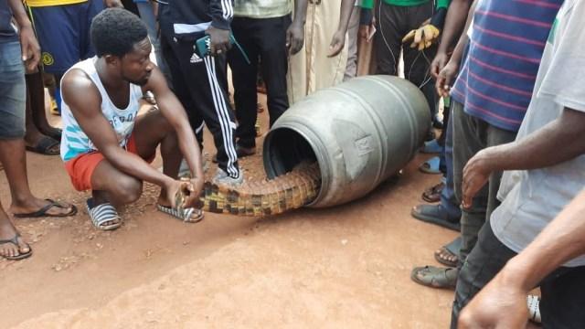 Huge crocodile found roaming streets of Techiman - MyJoyOnline.com