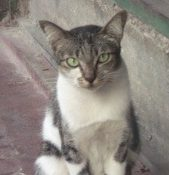 Bali temple cat