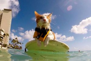 one eyed cat surfing in Hawaii