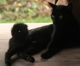 Indonesia curly tail cat