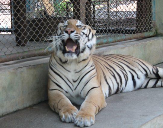 tiger starts to yawn