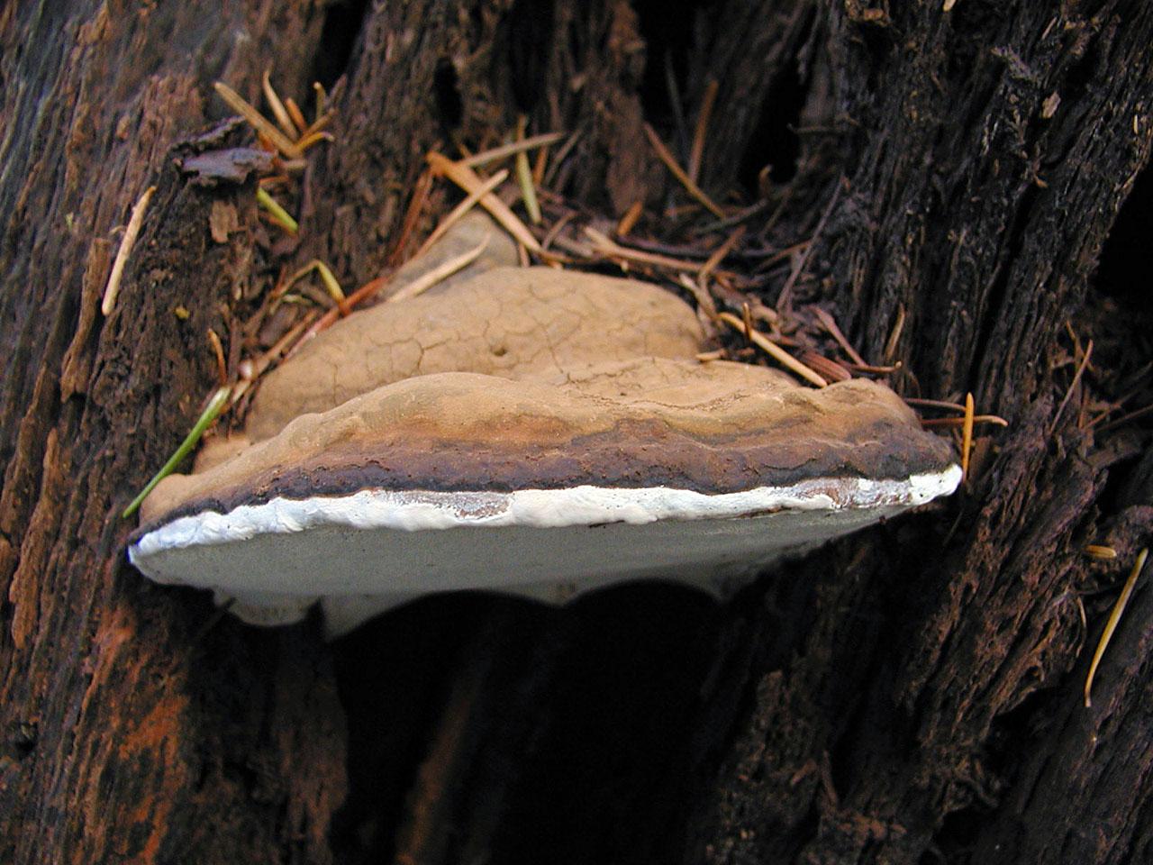 California Fungi Ganoderma applanatum