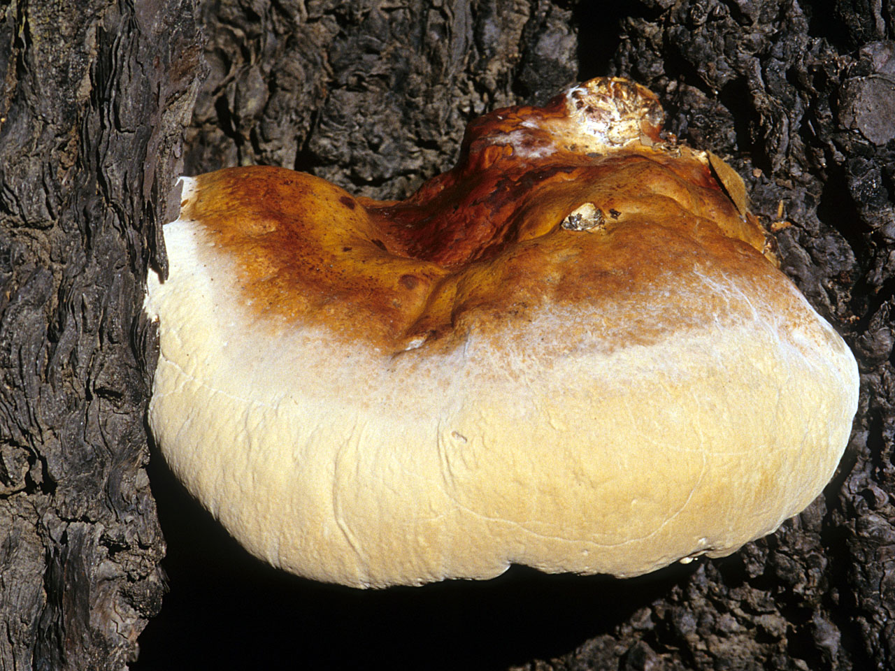 california fungi ganoderma oregonense