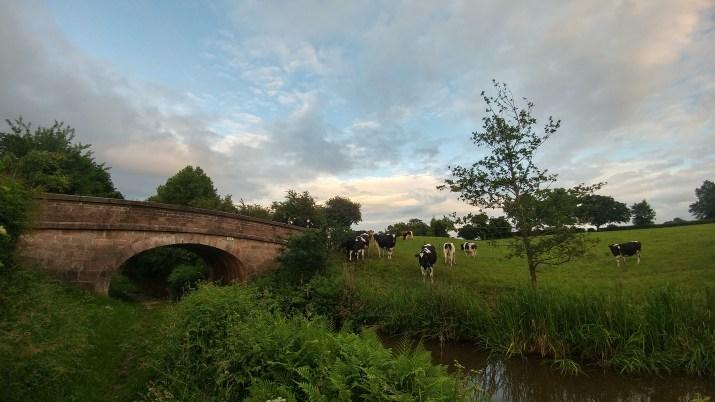 Cows near Bridge 63