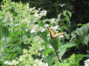 Photo of butterfly on Hydrangea paniculata