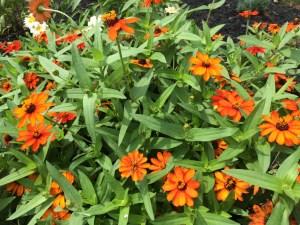 Photo of Orange Zinnias