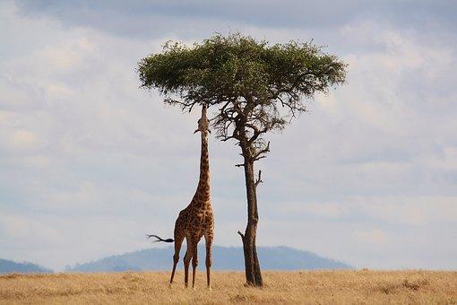 grands espaces - safari dans la savane et girafe