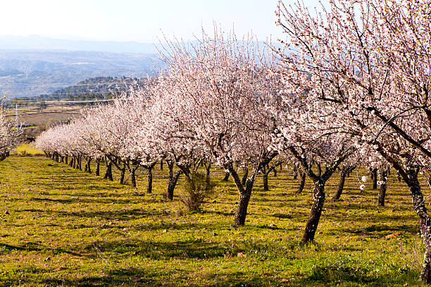 grove of almond trees