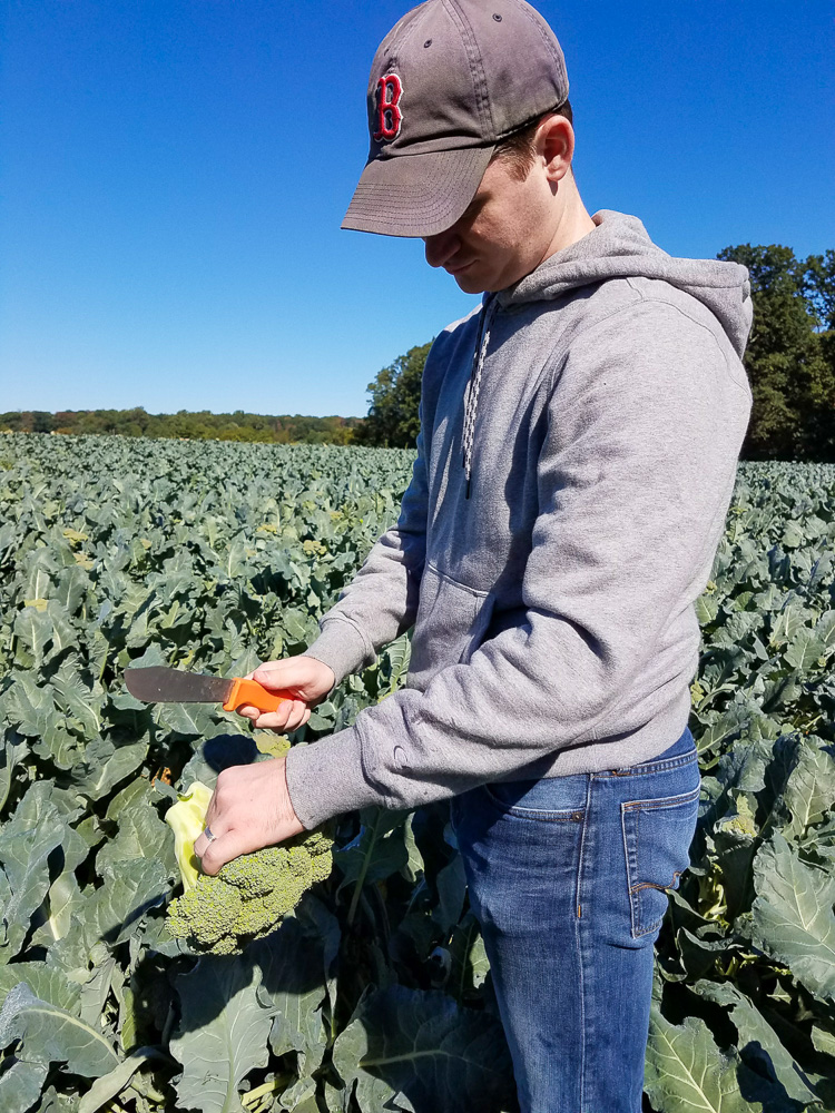 Picking Broccoli at Larriland Farm