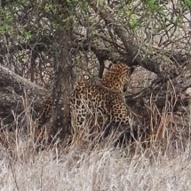 lepard lying