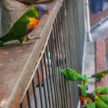 Blackbutt Reserve parrot