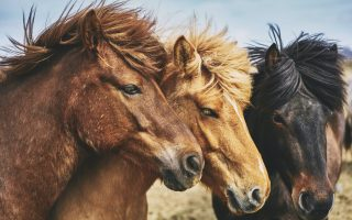 Horses use body language to communicate with each other