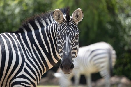 zebra looking at the camera