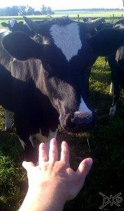Kühe auf Farm
