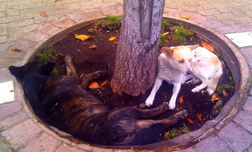 Hunde in Santiago de Chile