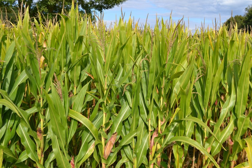 corn-fields-928384_1920