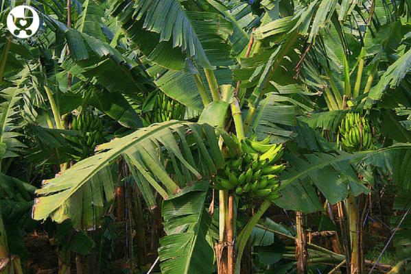 kerala banana powder