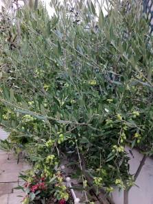 Les olives de la terrasse