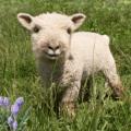 Pygmy sheep my little sheep