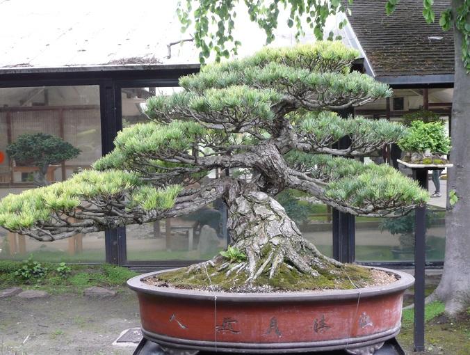 I bonsai pi costosi al mondo la classifica green  My Luxury