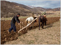 Two men ploughing the fields in a traditional way with wooden plough and donkeys.