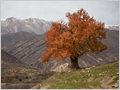 An old Oriental plane (Platanus Orientalis) tree in autumn foliage dominating the landscape near the Mavarz village, Iran.