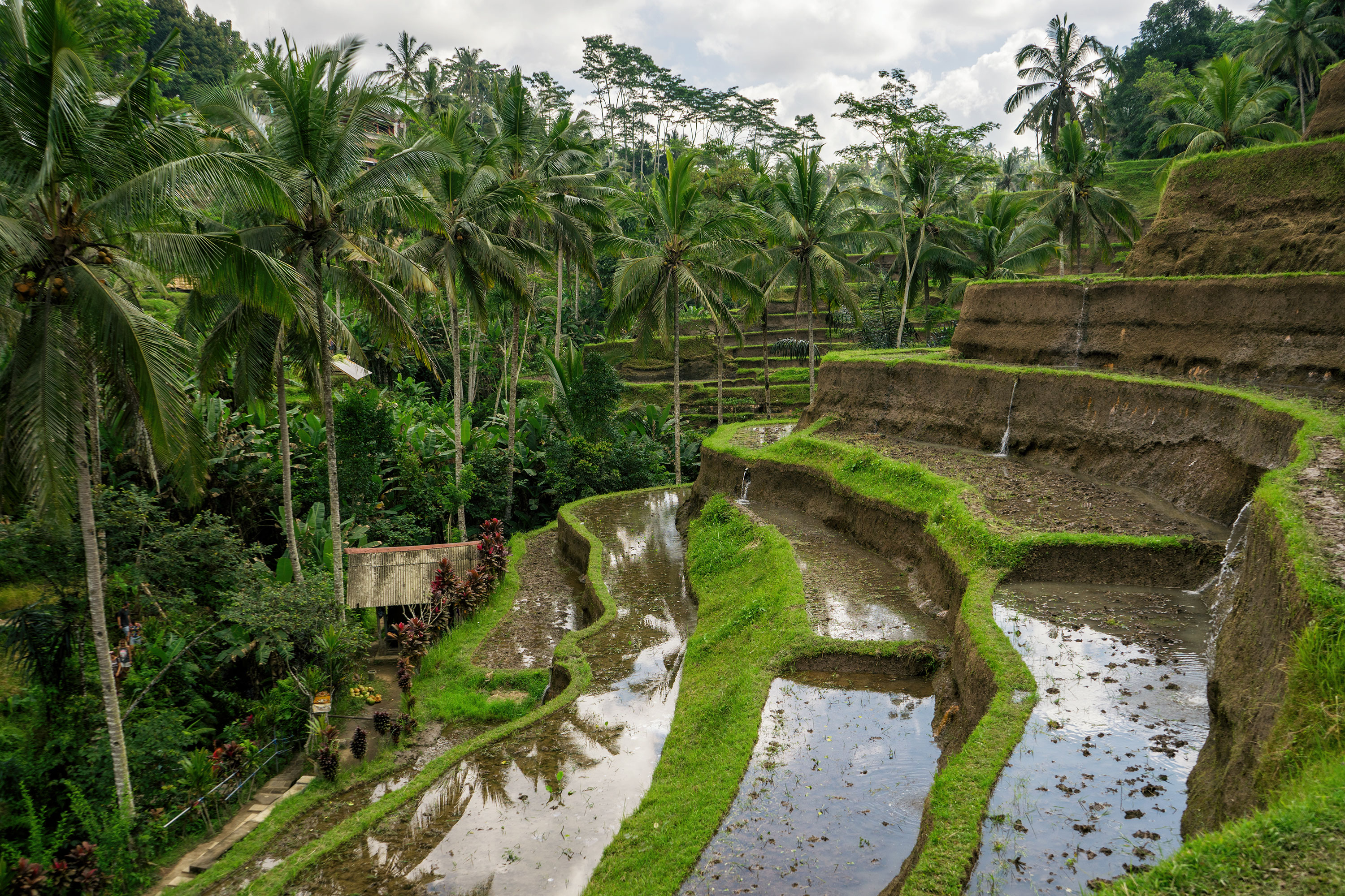 Bali Ubud Tegalalang Rice Terraces View Of Rice Paddies