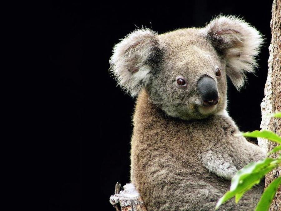 Cute Painting Hd Wallpapers Adorable Koalas