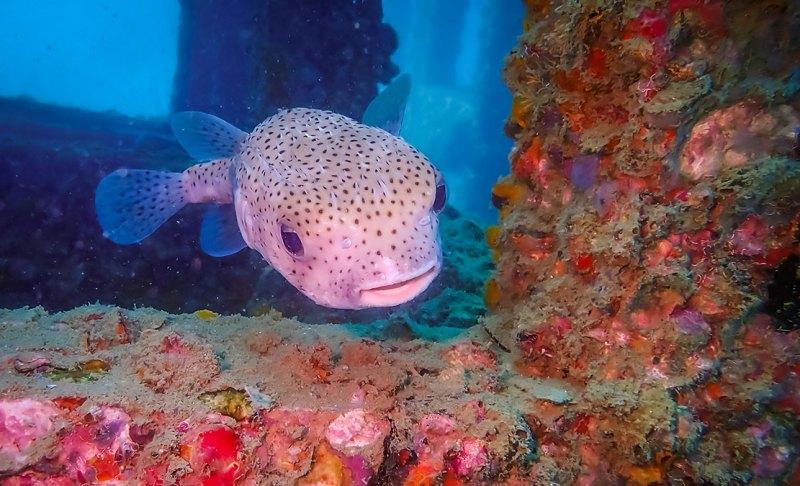 Pufferfish Ko Phi Phi Thailand