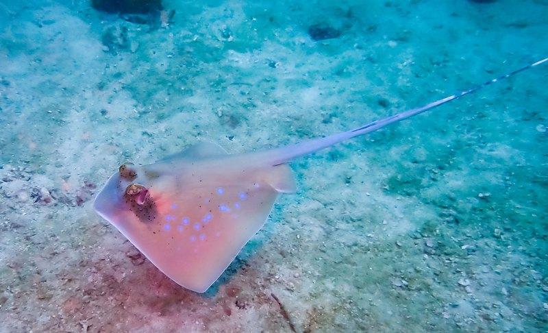 blue spotted stingray Ko Phi Phi Thailand