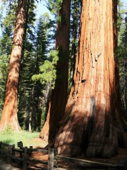 Yosemitegrovemariposa