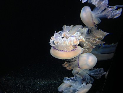monterey-meduses