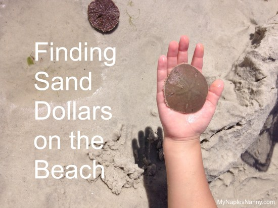 Finding Sand Dollars While on Vacationing in Naples Florida At The Ritz Carlton Babysitting and Nanny Services My Naples Nanny