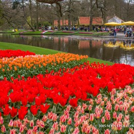 Picture of tulips in Keukenhof Garden, the Netherlands