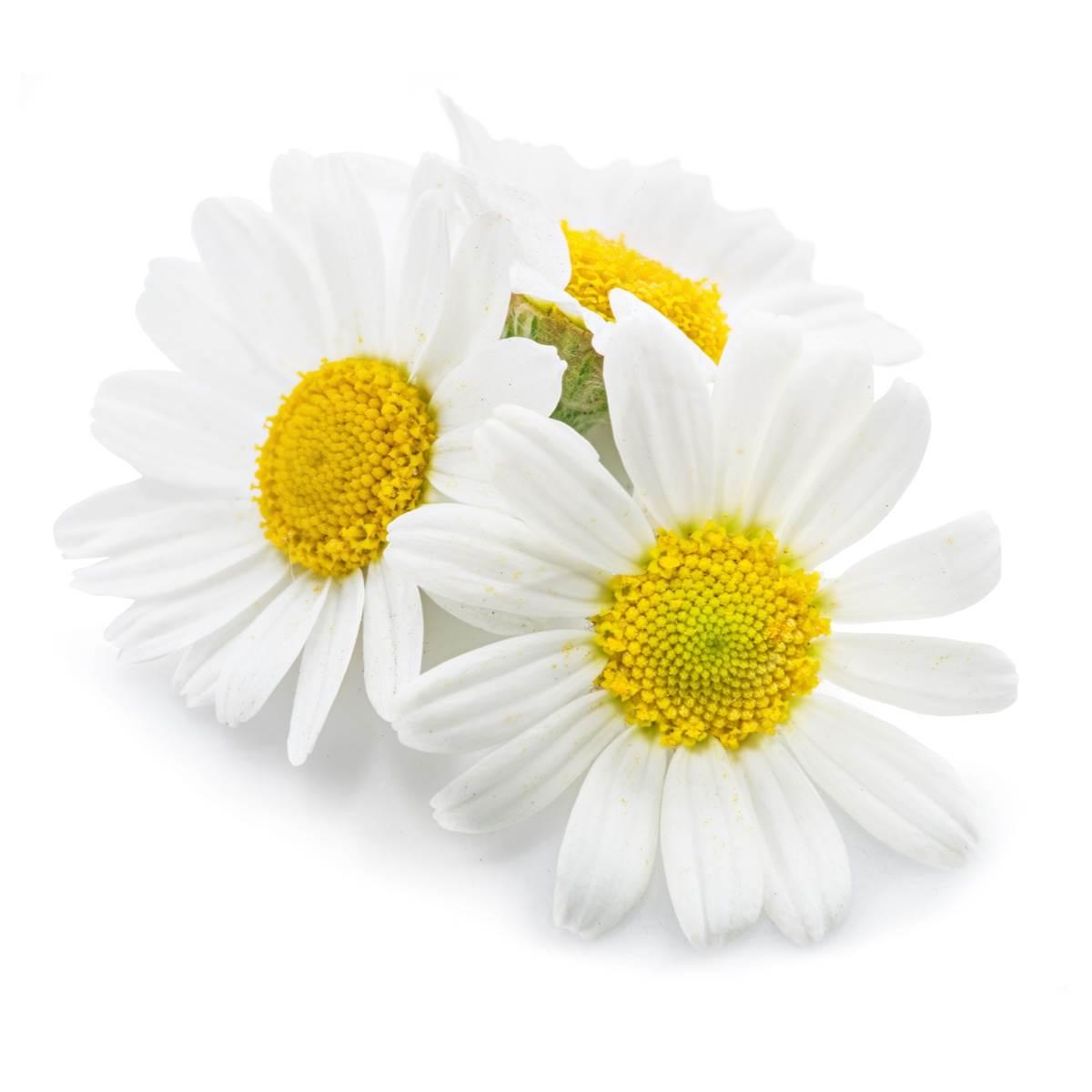 Camomille Matricaire Fleur Entière Tamisée 1mm - Matricaria Chamomilla L.