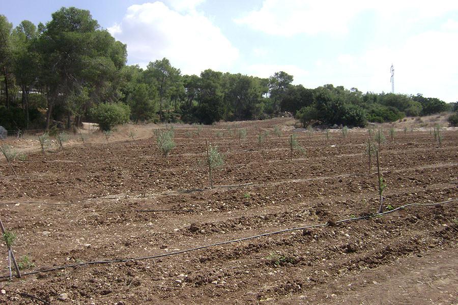 Kfar HaHoresh  Sponsor an Olive Tree in Israel