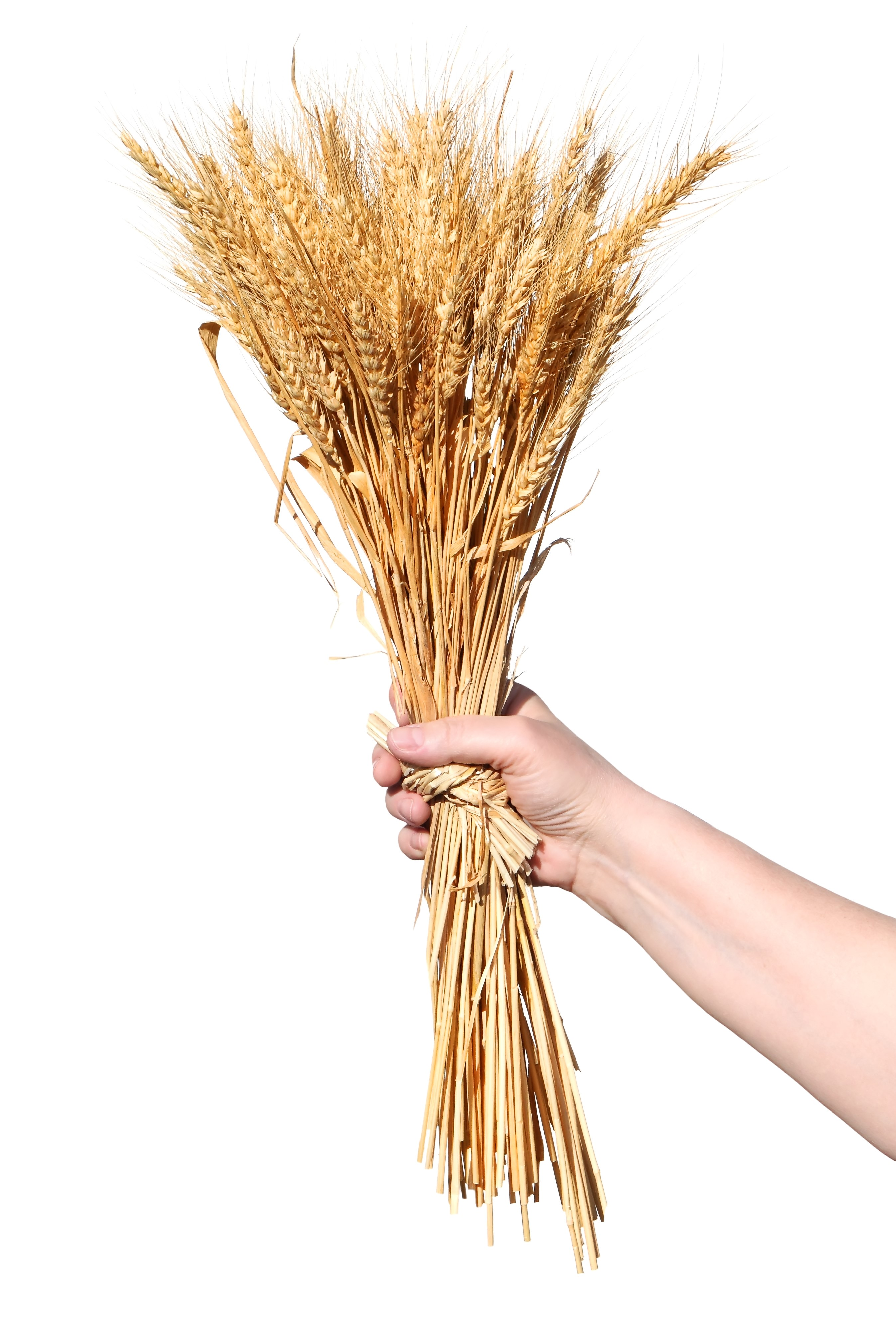 The Seven Species Barley And Wheat