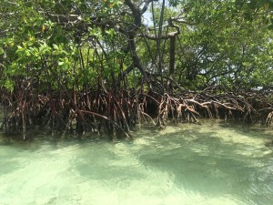 mangroves grand cul de sac marin à sainte Rose