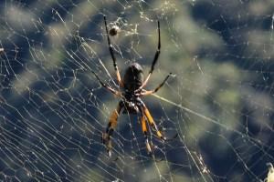 spider !